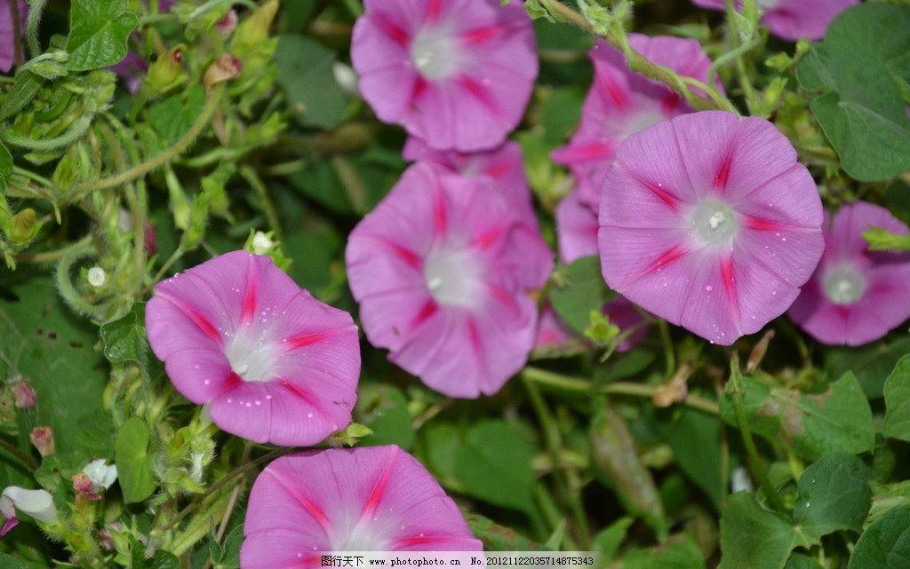 圆叶牵牛 花卉 牵牛花 喇叭花 腋生 聚伞花序 花冠 漏斗状 紫红色