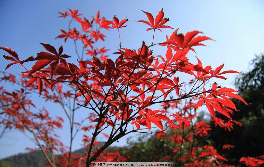 枫树 枫叶 红叶 秋天 公园 香山 树林 大树 金秋 森林公园 生态公园