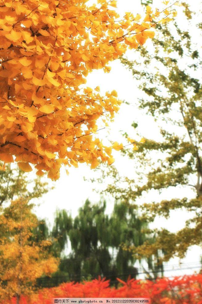 秋天 红叶 银杏 白杨 梧桐 柳树 落叶 森林 树林 树 黄叶 枯叶 阴天