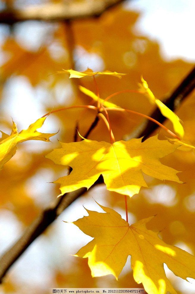 枫叶 枫树 红叶 秋天 公园 香山 金秋 森林公园 生态公园 树木树叶