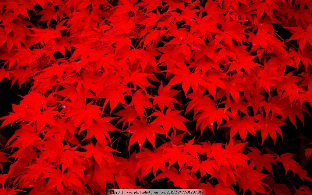 红枫叶 日本红枫叶 红叶 枫叶 秋叶 秋枫叶 枫火 小枫叶 枫树 红枫叶