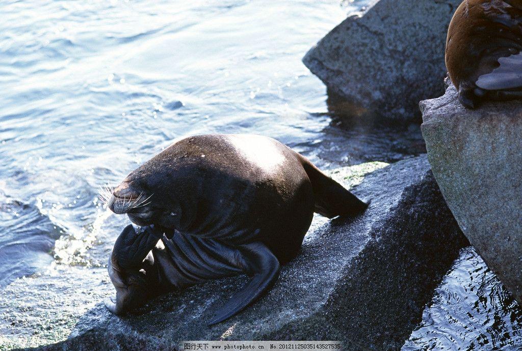 海豹 可爱 海狮 野生动物 保护动物 生物世界 摄影 海洋生物