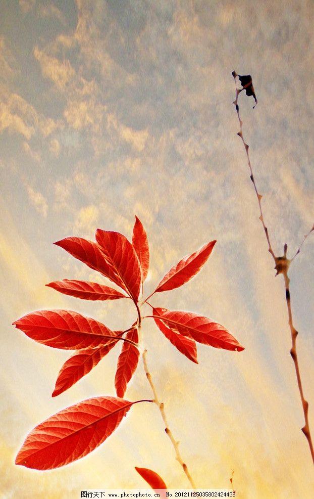 红叶 冬天的花朵 树枝 红色叶片 叶子 自然风光 摄影图片