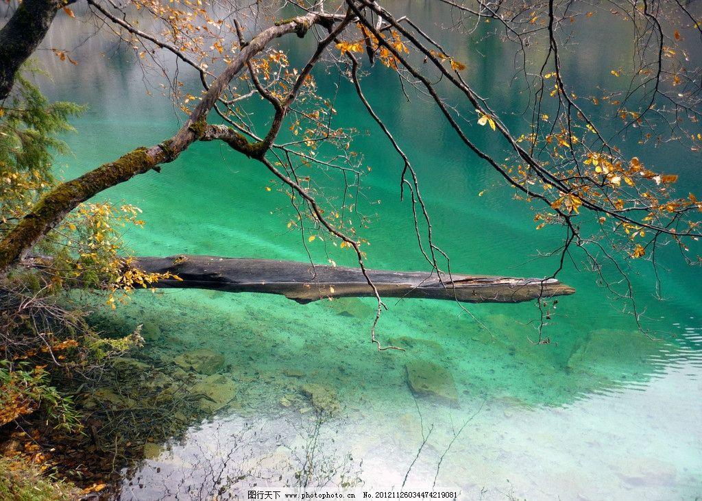 九寨沟 树木 枯树 枫叶 倒影 清澈 秋天 九寨沟美景 山水风景 自然