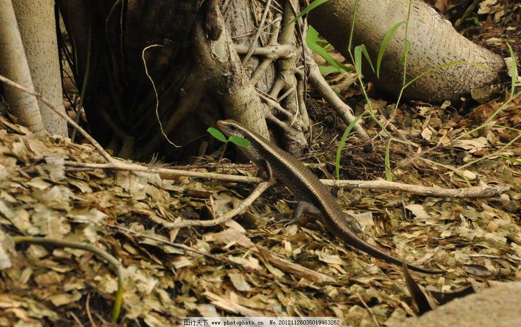 蜥蜴 小蜥蜴 爬行动物 四脚蛇 野生动物 生物世界 摄影 300dpi jpg