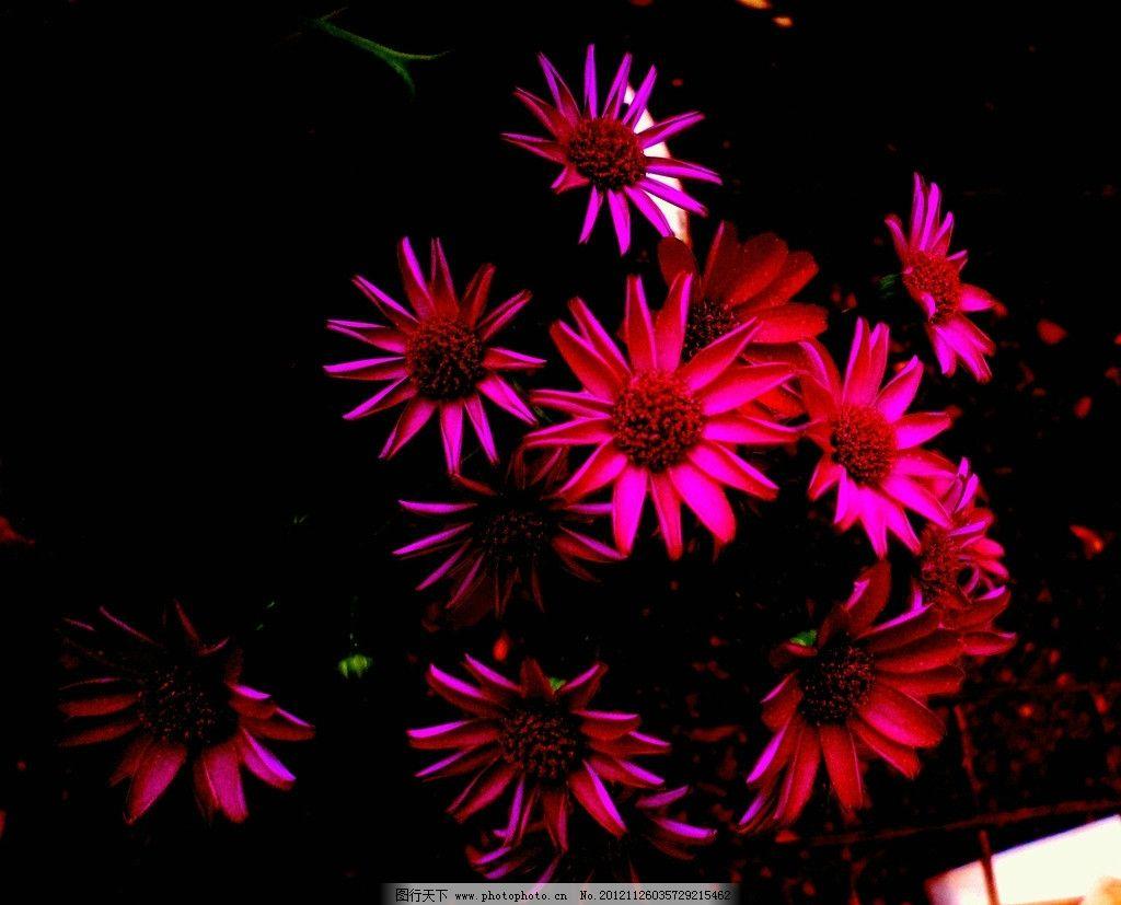 小菊花 红紫菊花 小花卉 美丽花卉 植物摄影 小盆景 园林植物 可爱