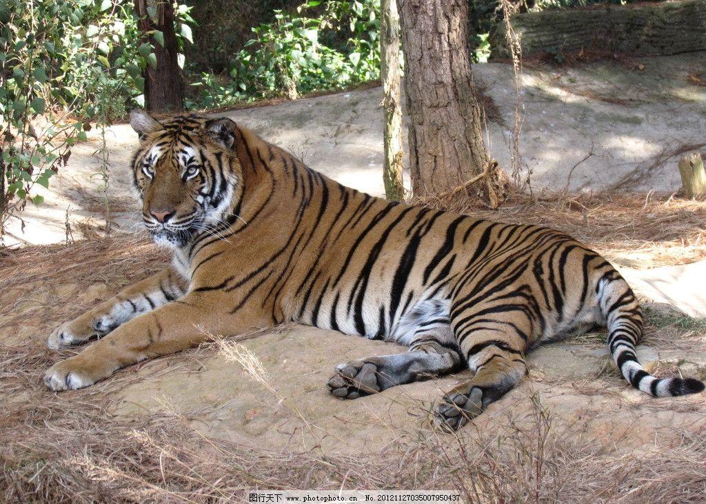 老虎 野生动物 生物世界 摄影 180dpi jpg