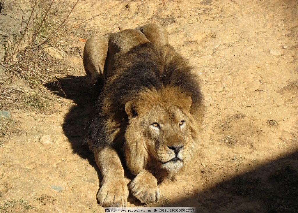 狮子 野生动物 生物世界 摄影