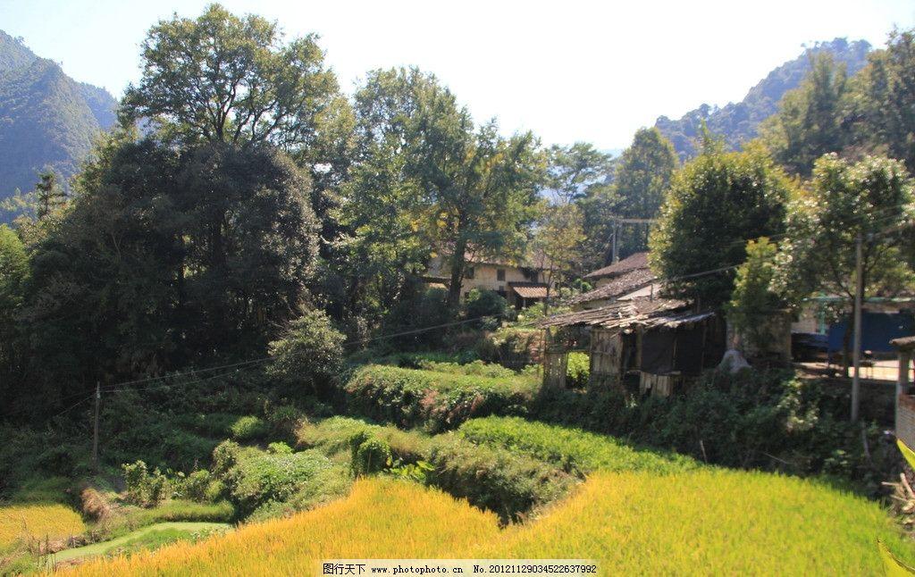 乡村景观 秋天 水稻 绿化 茂盛 农作物 绿树 摄影