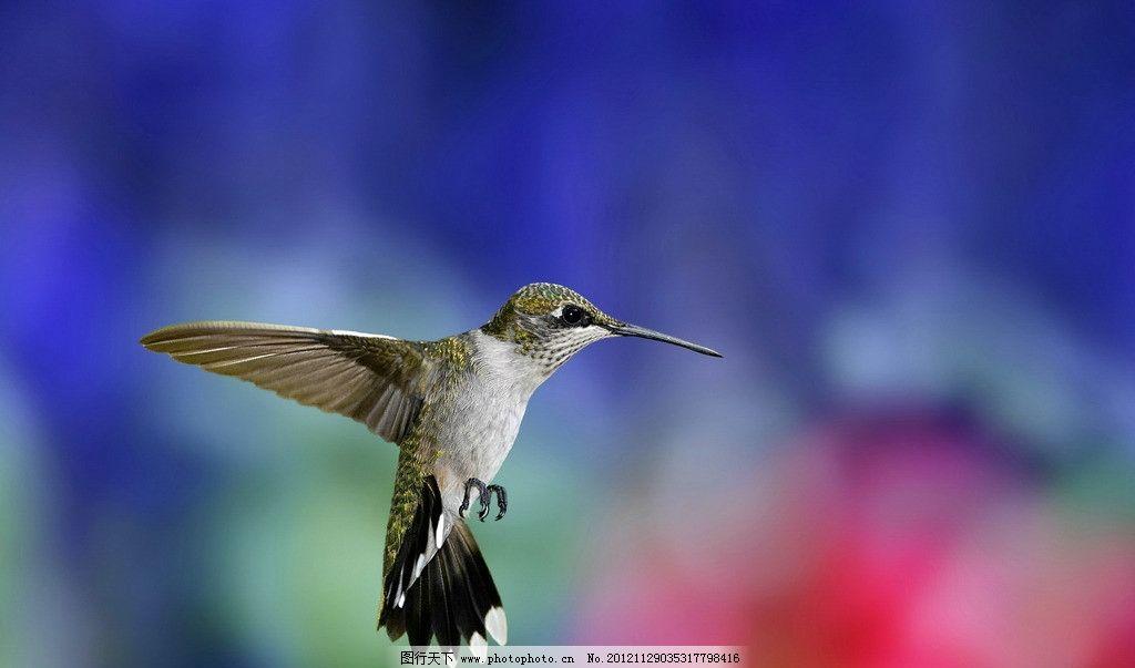 蜂鸟 鸟类 速度 嘴巴 采蜜 花朵 室外 植物 卵生动物 生物世界