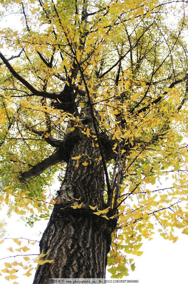 银杏 大树 园林 美景 高大 树木 树木树叶 生物世界 摄影 72dpi jpg