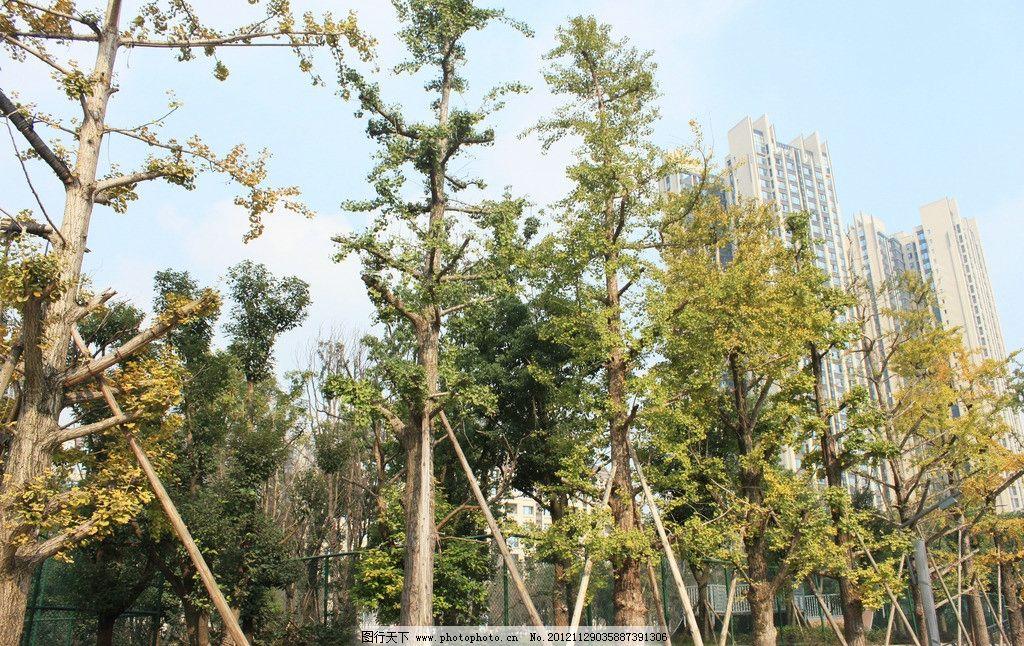 银杏 大树 园林 美景 小区环境 公园美景 树木 树木树叶 生物世界