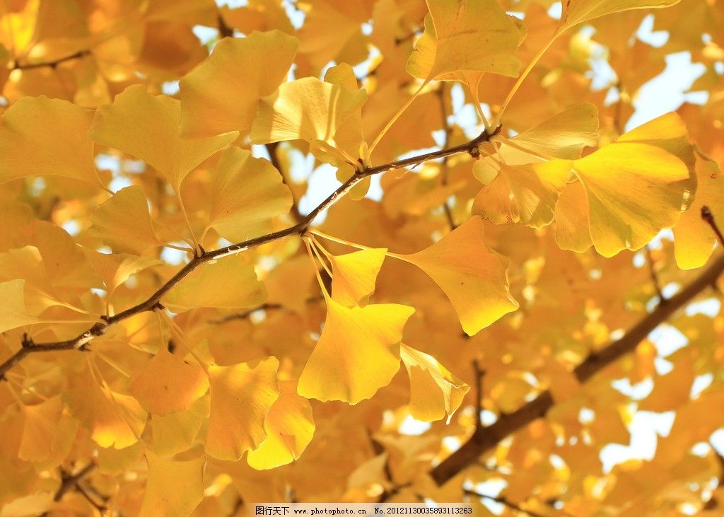银杏树叶是什么样子的图片