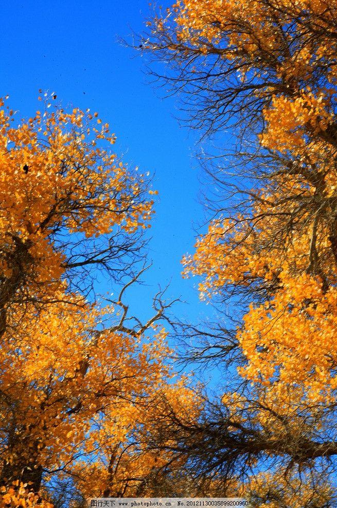 胡杨 树木 树林 蓝天 树木树叶 生物世界 摄影 72dpi jpg