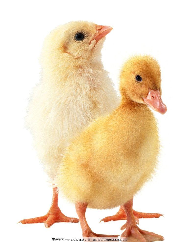小鸡小鸭 小鸡小鸭子 可爱的小鸡 可爱的小鸭子 源文件