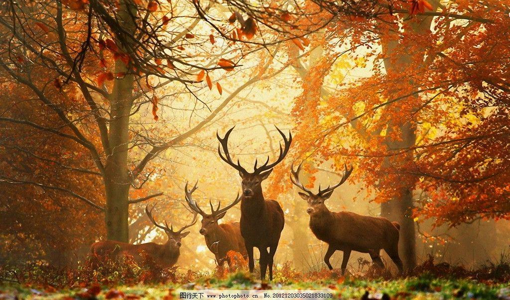 麋鹿 动物 野外 秋天 森林 保护 栖息 野生动物世界 摄影