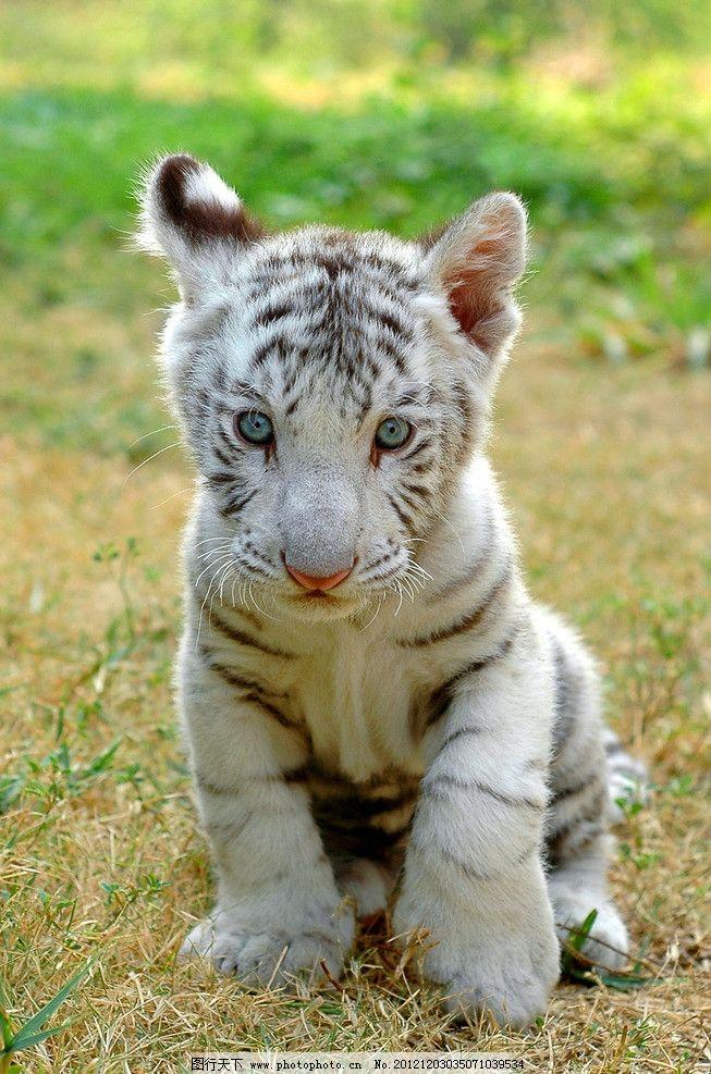 白虎老虎可爱野生动物野生动物生物世界摄影300dpijpg