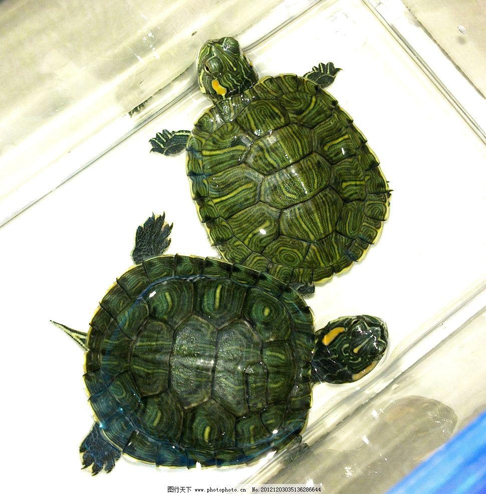 巴西龟 红耳龟 纹路 公 母 宠物 海洋生物 生物世界 摄影 300dpi jpg图片