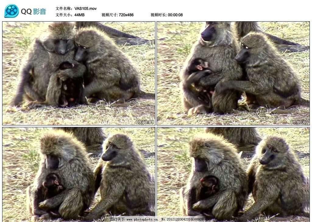 野生狒狒珍贵动物视频实拍素材 幼崽 野生动物 保护动物 珍稀动物