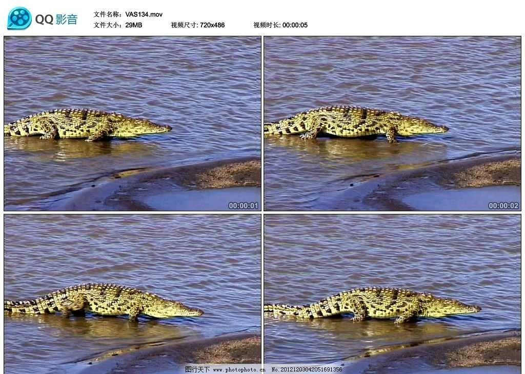 鳄鱼 两栖动物 水中 湖泊 河流 野生动物 保护动物 珍稀动物 可爱