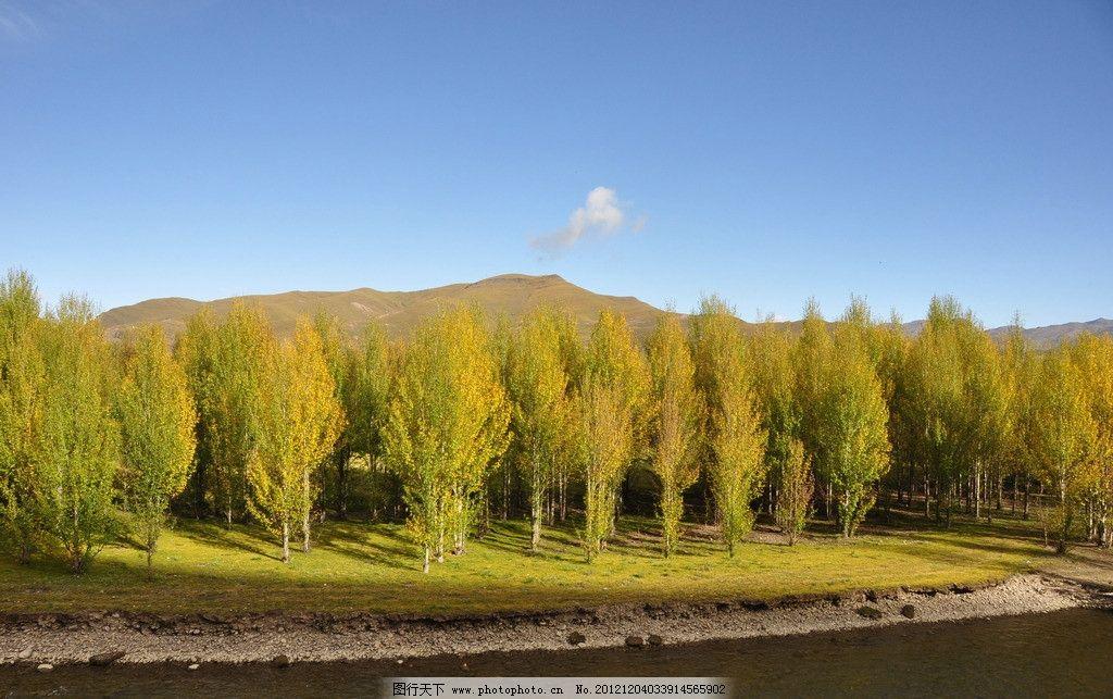 川藏线 杨树林 秋天 金黄 万顷 摄影天堂 河边 蓝天 绿草 白云 国内