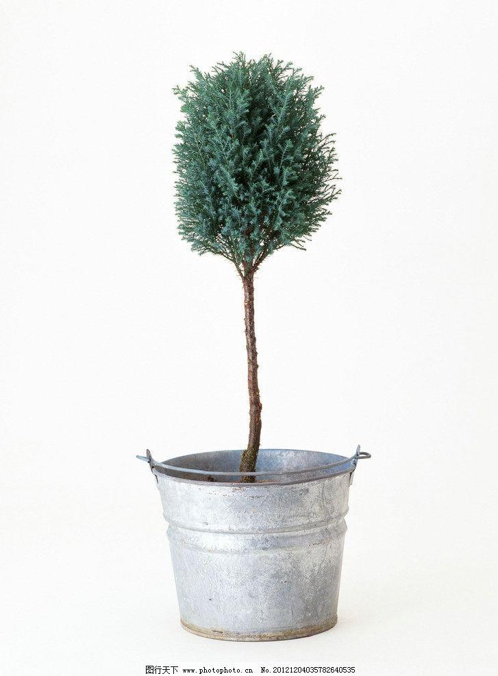 小树盆栽图片