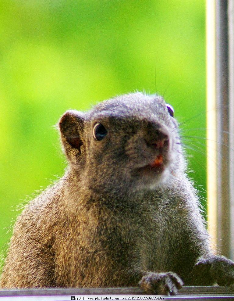 好奇的松鼠 松鼠 野生 好奇 可爱 卖萌 野生动物 生物世界 摄影 72dpi