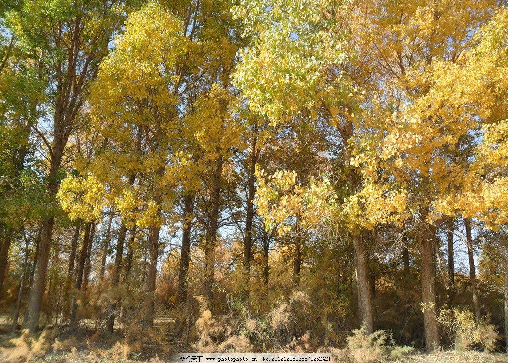 胡杨林 风景 自然风光 树木树叶 生物世界 摄影 96dpi jpg