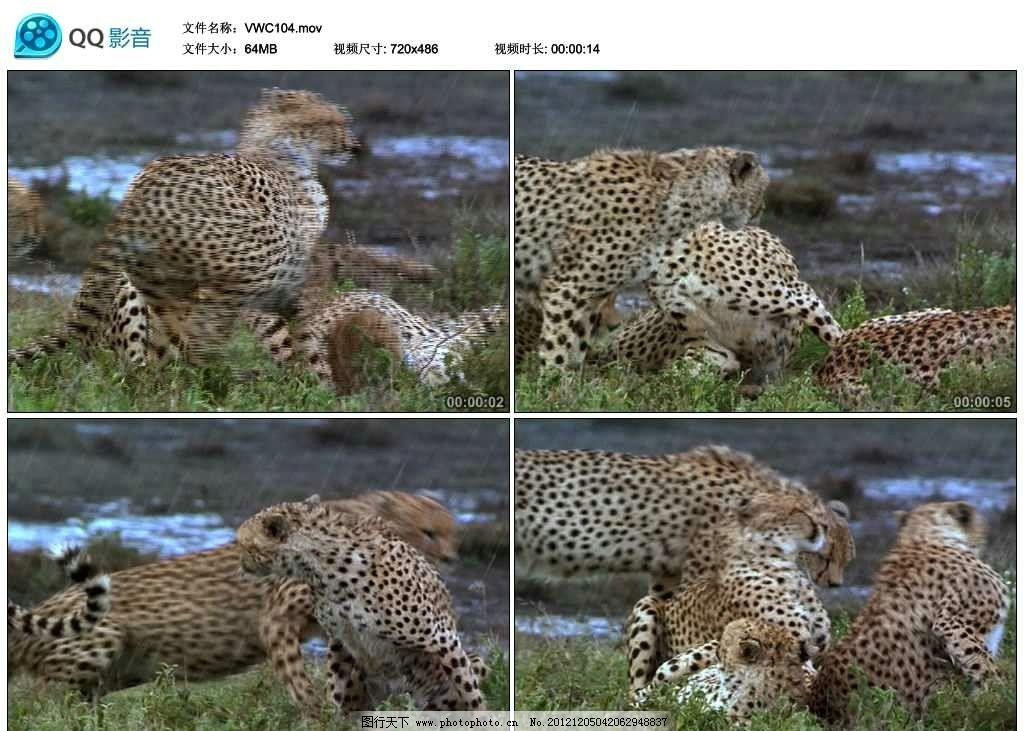 猎豹 豹子 金钱豹 幼崽 猛兽 野生动物 保护动物 珍稀动物 可爱 非洲