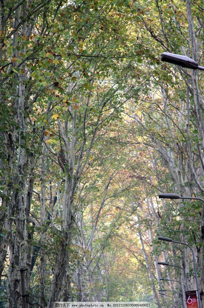 悬铃木行道树图片_树木树叶_生物世界_图行天下图库