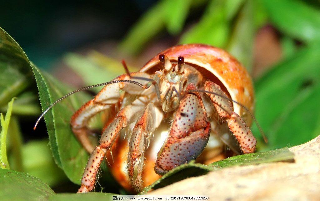 寄居蟹 海洋生物 节肢动物 白住房 干住屋 蟹 蟹类 螃蟹 寄居蟹图片