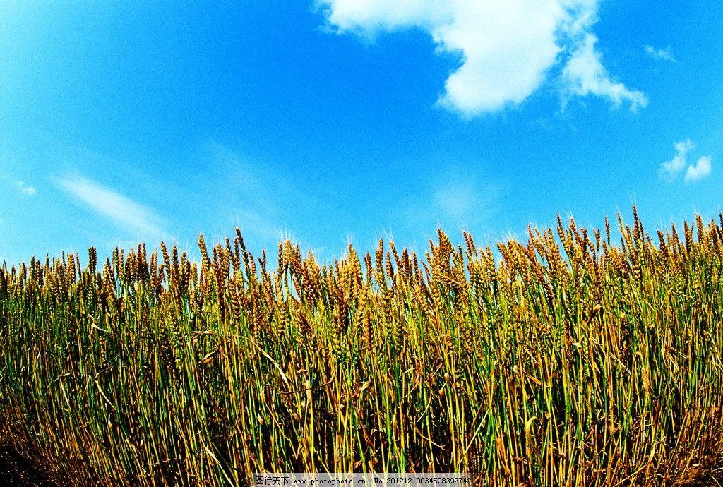 麦田 小麦 麦穗 麦子 麦子丰收 谷物 麦子熟了 麦田景观 大自然