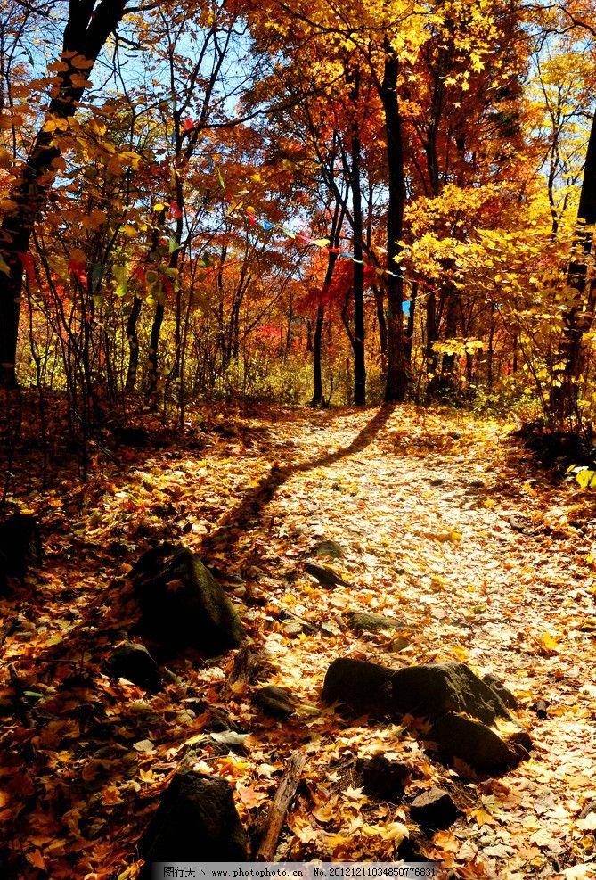 金秋树林 树林 枫叶 枫树 落叶 秋天 公园 香山 大树 金秋 森林公园
