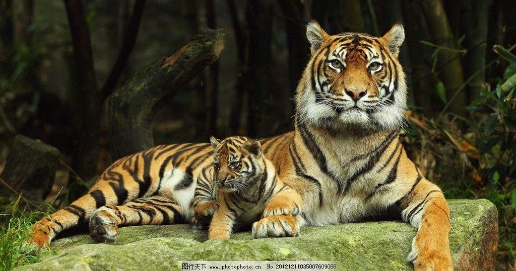 老虎与虎宝宝 老虎特写 虎洞 虎头 休憩 野生动物 生物世界 摄影