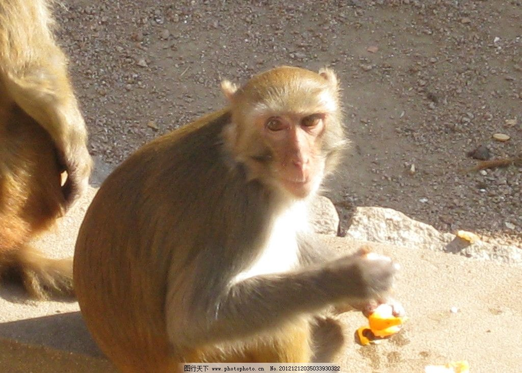 金丝猴 猴子 金色毛 保护动物 公园里的猴子 野生动物 生物世界 摄影