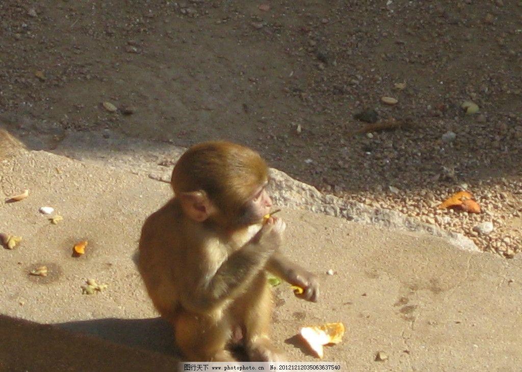 小猴子 金丝猴 猴子 猴宝宝 猴幼崽 金色毛 保护动物 公园里的猴子 野
