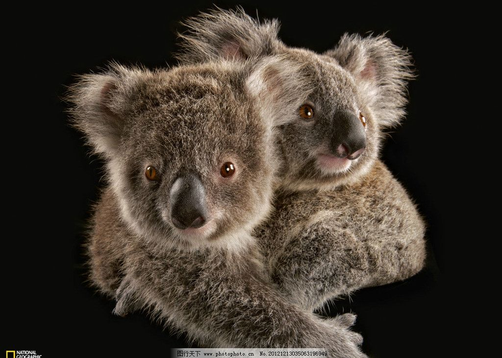 考拉 浣熊 树熊 野生 珍贵 保护 动物 摄影 野生动物世界