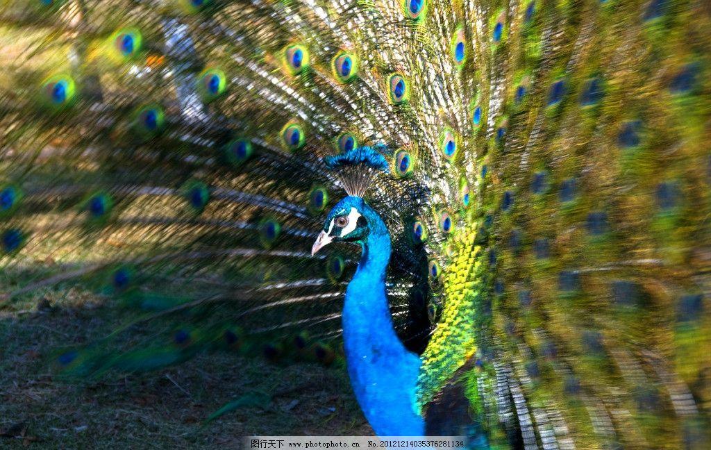 孔雀开屏 自然美景 孔雀 动物园 尾巴 鸟类 生物世界 摄影 240dpi jpg