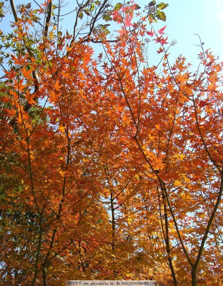 秋天风景 秋天 风景 天空 树木 枫叶 树木树叶 生物世界 摄影 72dpi