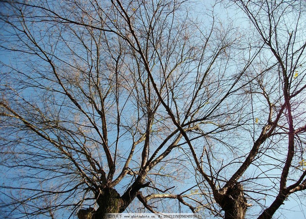 落木 树 秋天 蓝天 树枝 树木树叶 生物世界 摄影 230dpi jpg