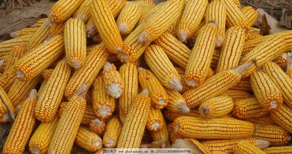 玉米 成堆玉米 苞米 玉米种子 大苞米 田园风光 自然景观 摄影 72dpi