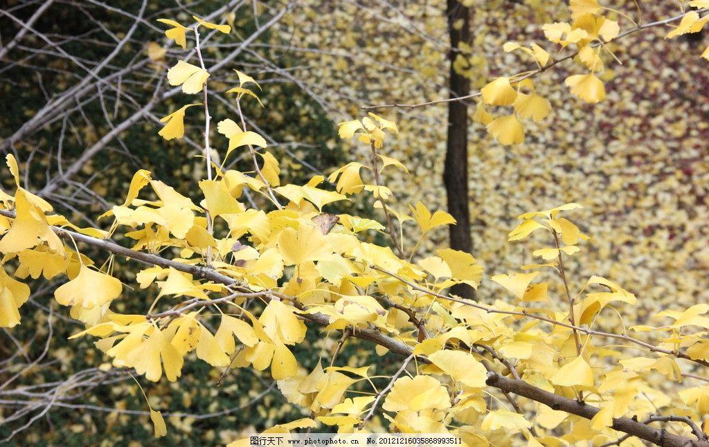银杏 落叶 银杏叶 秋叶 树枝 摄影