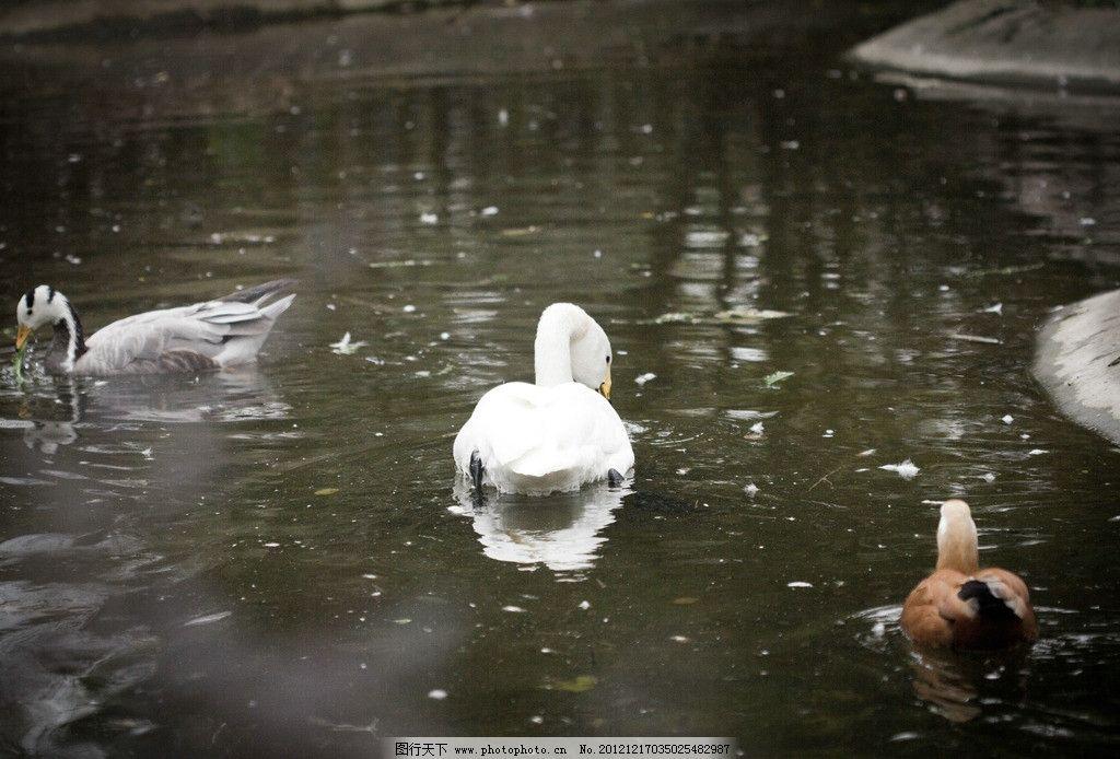 动物园里的鹅图片