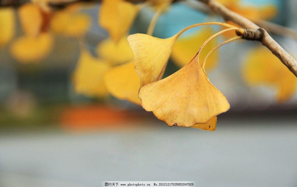 银杏花的简笔画