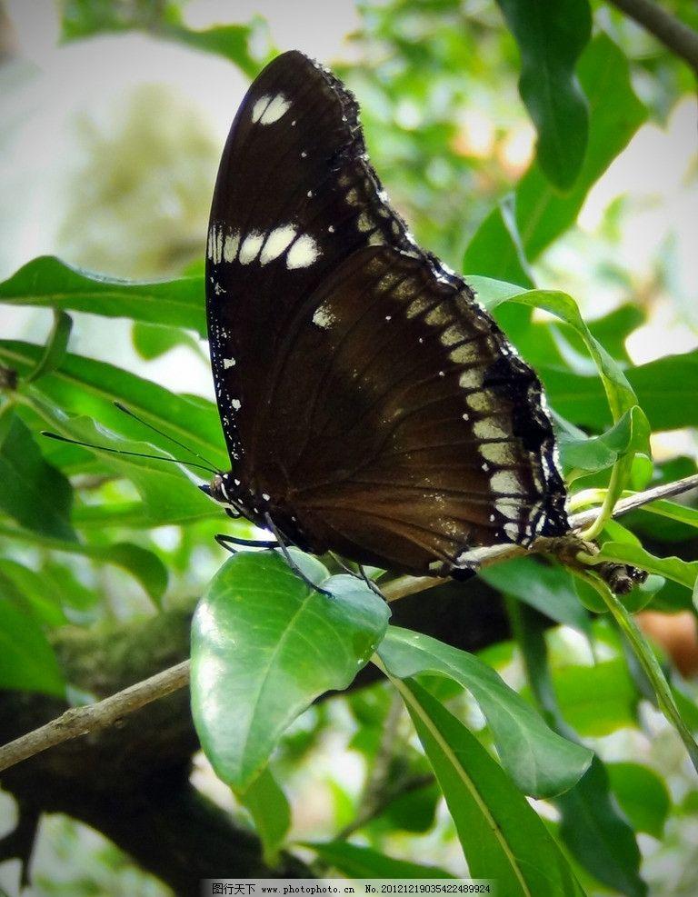 蝴蝶 绿叶 植物 树叶 黑色蝴蝶 昆虫 生物世界 摄影 72dpi jpg