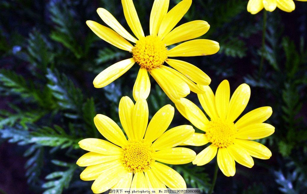 風景菊花 小雛菊 小黃花 花朵 花草 生物世界 攝影