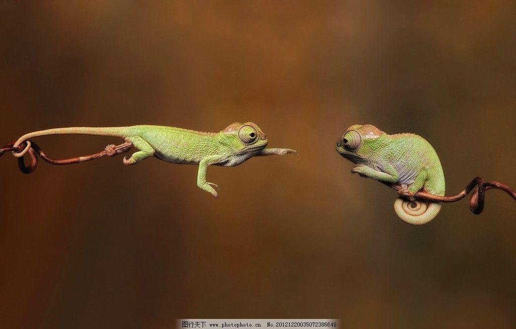 变色龙 避役 树枝 野生动物 生物世界 摄影