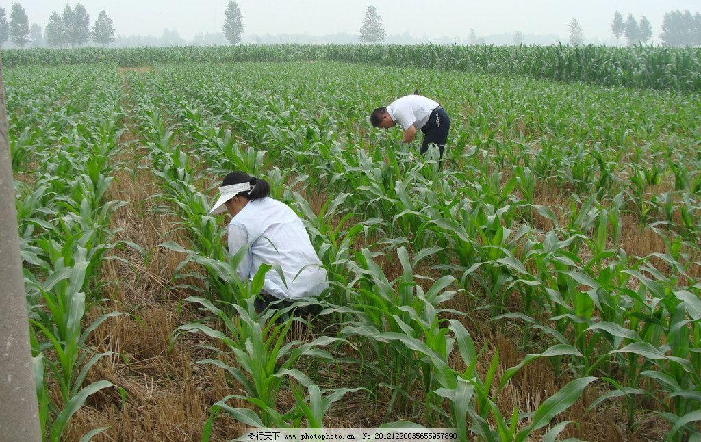 玉米田图片