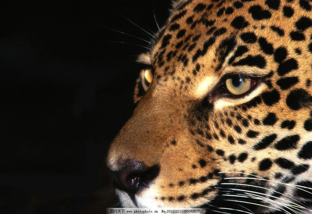 老虎 老虎头 黑背景 清晰摄影老虎 野生动物 生物世界 摄影 72dpi jpg