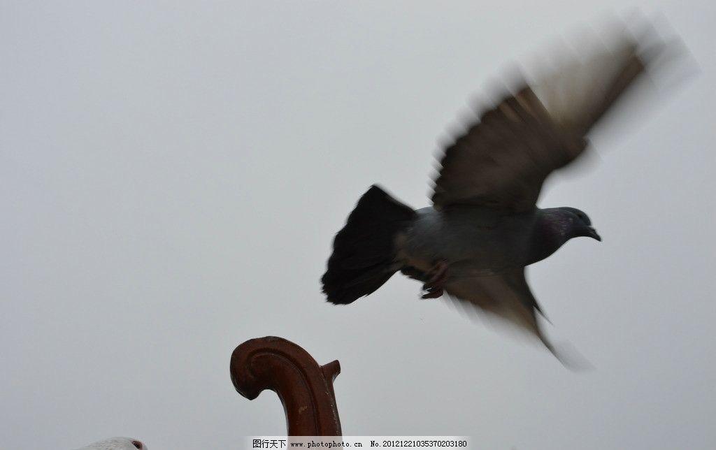 鸽子 飞翔 信鸽 展翅 鸟类 生物世界 摄影